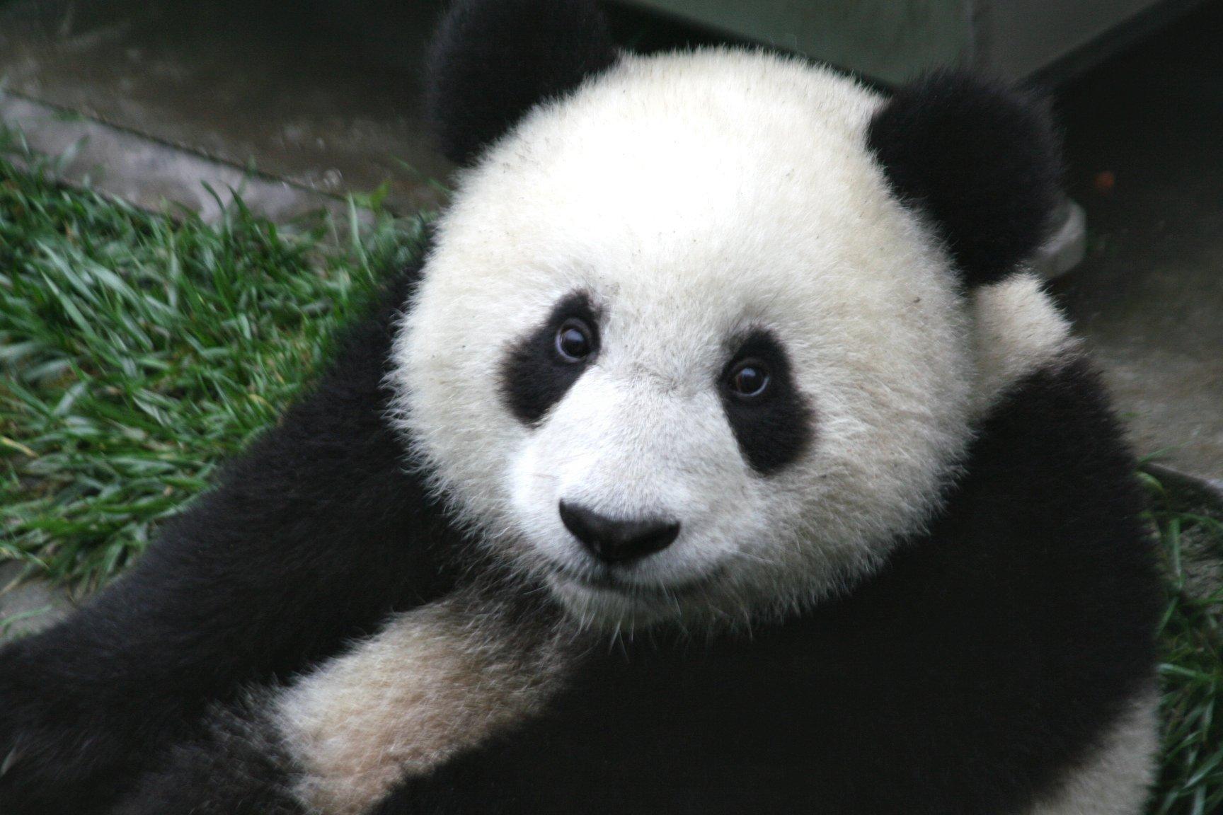 A panda sat on its backside looking at the camera